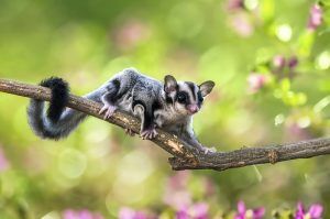 sugar glider on a tree branch