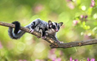 sugar glider on a tree branch